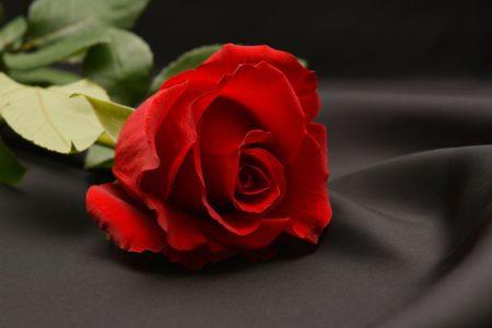 rose-1231353_1280